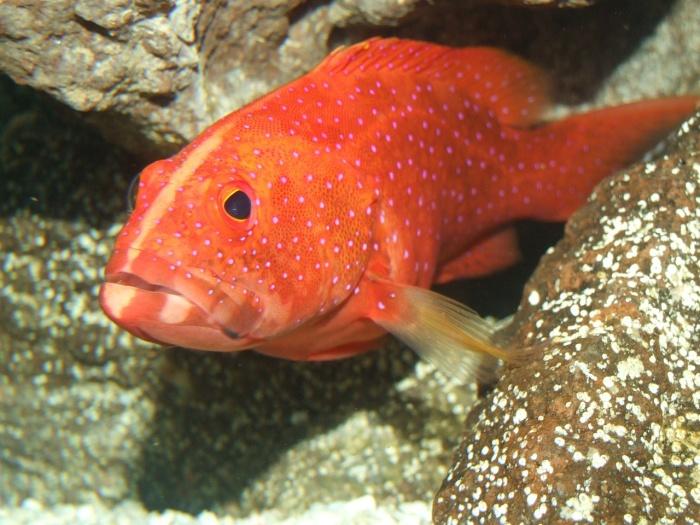 miniatus-grouper-247578_1280