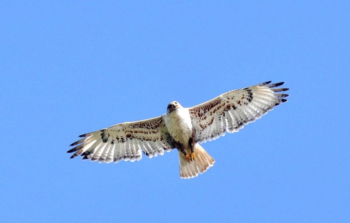 ferruginous-hawk-948753_1280